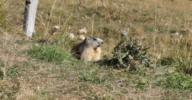 Balades et observation des marmottes