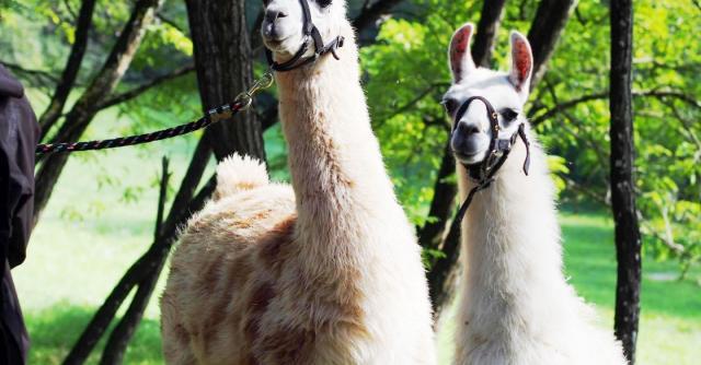 Les Gentilles Canailles - balades et activités avec des lamas