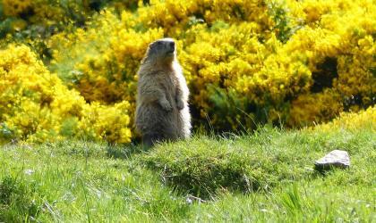 Office de Tourisme des Boutières - Marmotte aux aguets