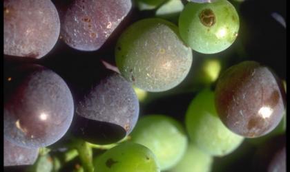 Hermitage Tournonais Tourisme - raisins