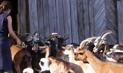 - La rentrée des chèvres