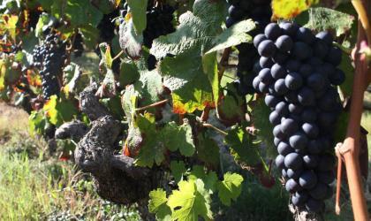 Ardèche Hermitage - raisins rouge