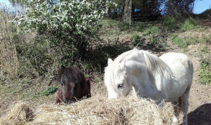 Les écuries Lecomte Liévaux - chevaux