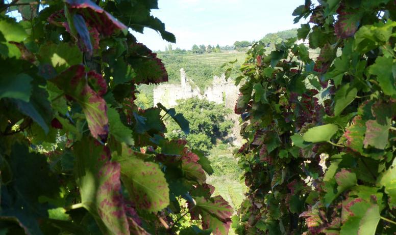 - vigne