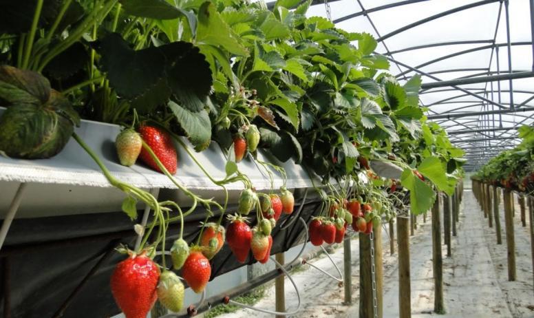 Aux délices de la ferme ardéchoise - Les fraises_Aux délices de la ferme ardéchoise_Tournon sur Rhône