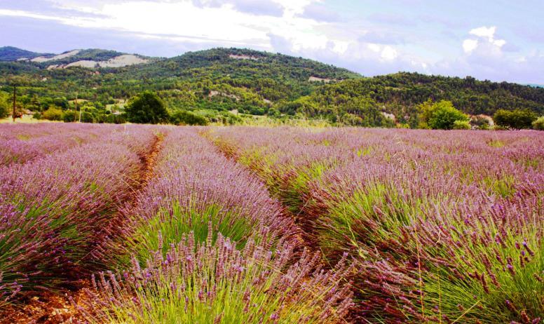 Sur plus de 20 Hectares de terrain, la Famille Guerin cultive le lavandin.