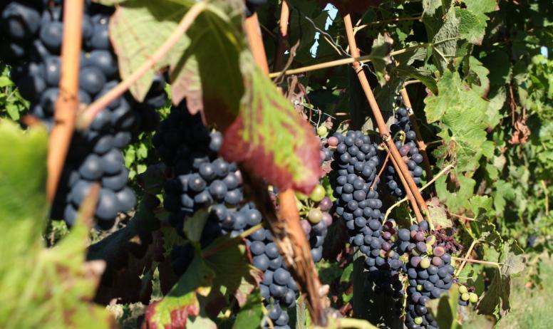 Ardeche Hermitage Tourisme - raisins rouge
