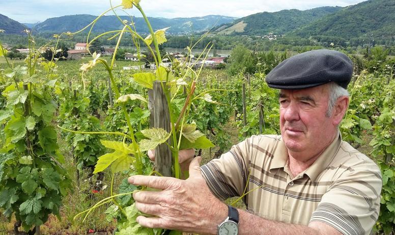 J.C. et N. Fayolle - Attache de la vigne