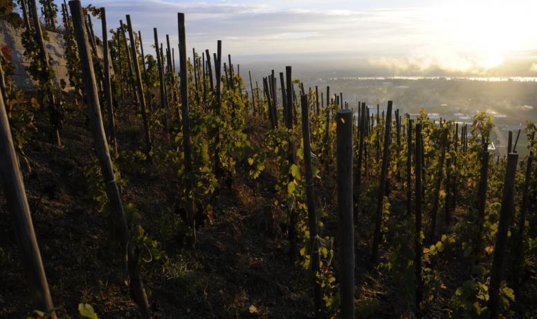 Domaine Gilles Robin - Les vignes au levé du soleil