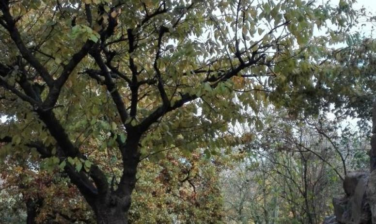 Le Cerisier extérieur - Automne
