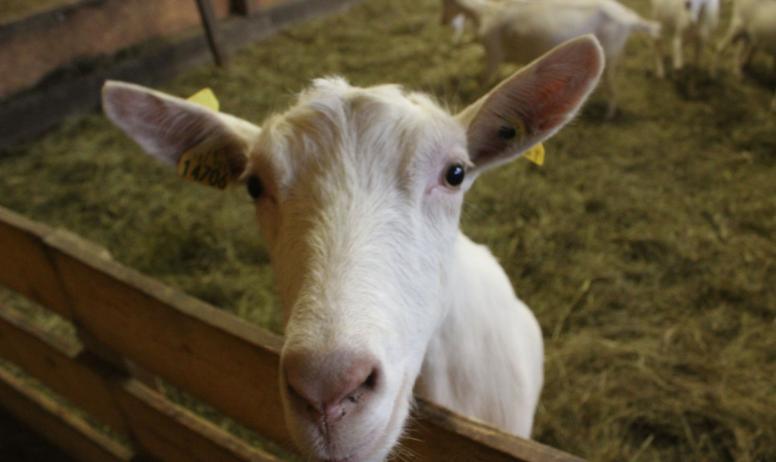 Chèvre d'Andaure - Chèvre d'Andaure
