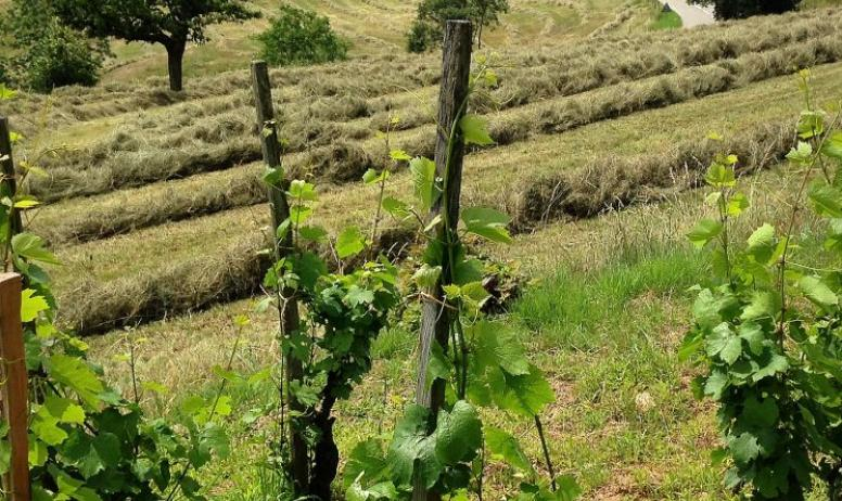 Domaine Morlanche - Pieds de vigne