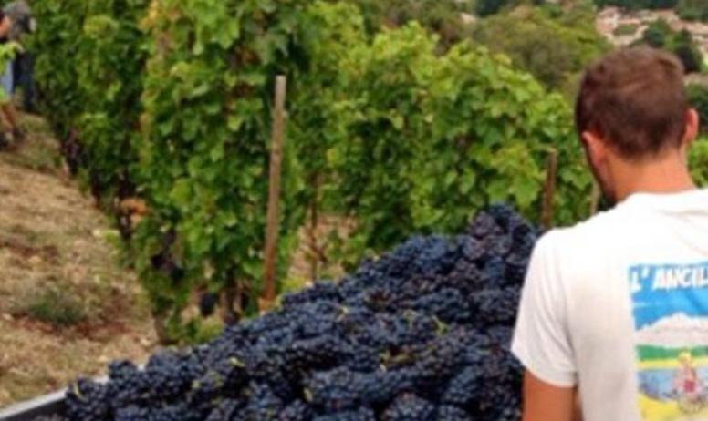 - Les vignes et les raisins