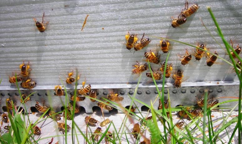 Terre d'abeille - abeilles devant ruche avec polen